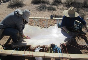 Softening a sheep hide.