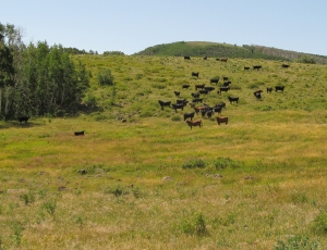 Cattle were a major consideration in the settlement of Boulder Town.  Photo courtesy of Paul.