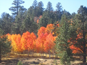 The vibrant fall colors of an aspen grove on Boulder Mountain