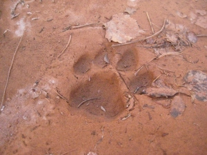 Track of a mountain lion in the mud of a pool of water.