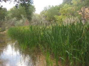 Cattails at a Canyon Spring
